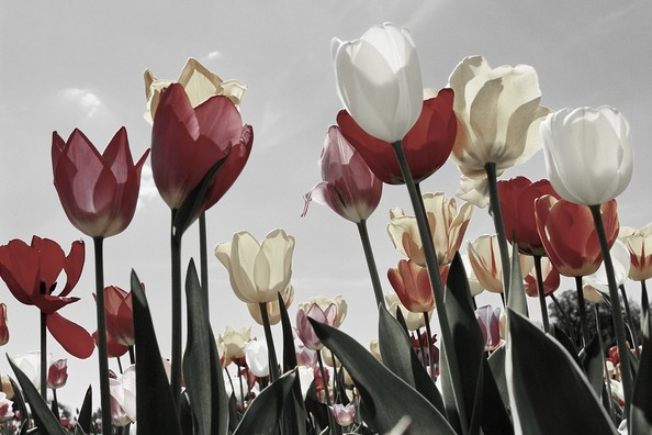 tulips-2219201_960_720