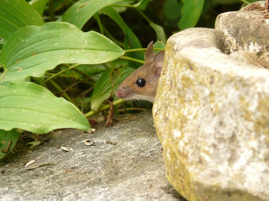 wood-mouse-8176_960_720