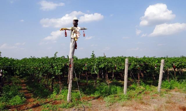 vineyard-223438_960_720