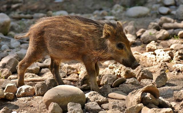 wild-pigs-2424438_960_720